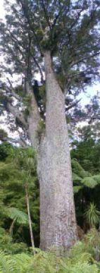 A respectable-sized kauri tree (Agathis) n the Waipoua Forest, New Zealand.