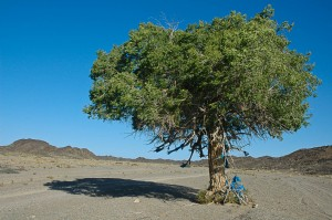 A single tree in the middle of the desert, Mongolia. The blue material wrapped around it indicates it is a special tree for Buddhists.