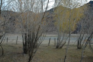 Highly coppiced willow trees inside the patch - and a fence - the remains of someone's attempt to preserve the trees. Mongolia.