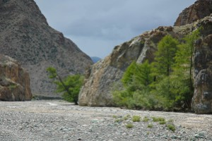 Between a rock and a hard place - larch trees on the edge of a dry river bed.. Gobi Altai. Mongolia.