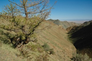 Another isolated larch tree, high up a valley of the Gobi Altai, Mongolia.