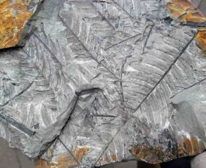 A typical slab of 'fern rock' from the Catlins. The preserved length of the Cladophlebis fossil frond at right is about 100 mm.