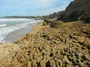 Exposed surface of highly burrowed limestone (Ototara and a little Otekaiki) on the beach north of Kakanui. This is essentially the Marshall Paraconformity with the greensand stripped off.