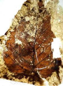 A possible fagacean fossil leaf that has been peeled off the sediment. Kaitangata, New Zealand.