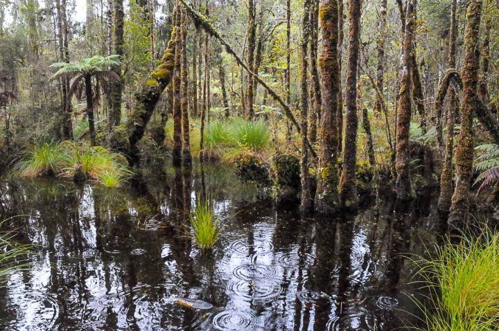 Swamp forest at Ship Ck, Westland, New Zealand