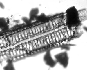 A microscopic fragment of fossil charcoal from Kakahu, New Zealand.