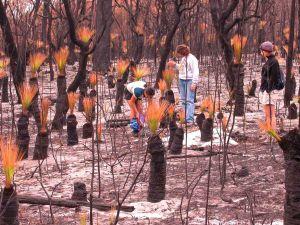 Students looking at grasstrees on Stradbroke Island, Australia, soon after a fire.