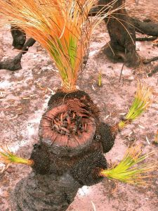 The tip of this grasstree has broken away to show the ring of charred leaf bases. The golden inner parts of the leaf bases are covered in resin - which contains pollen.