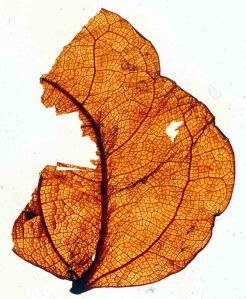 Miocene leaf fossil from Blue Lake, St Bathans, New Zealand