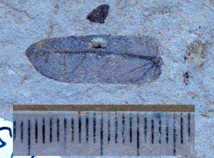 Fossil legume leaflet from the Miocene of Bannockburn, New Zealand